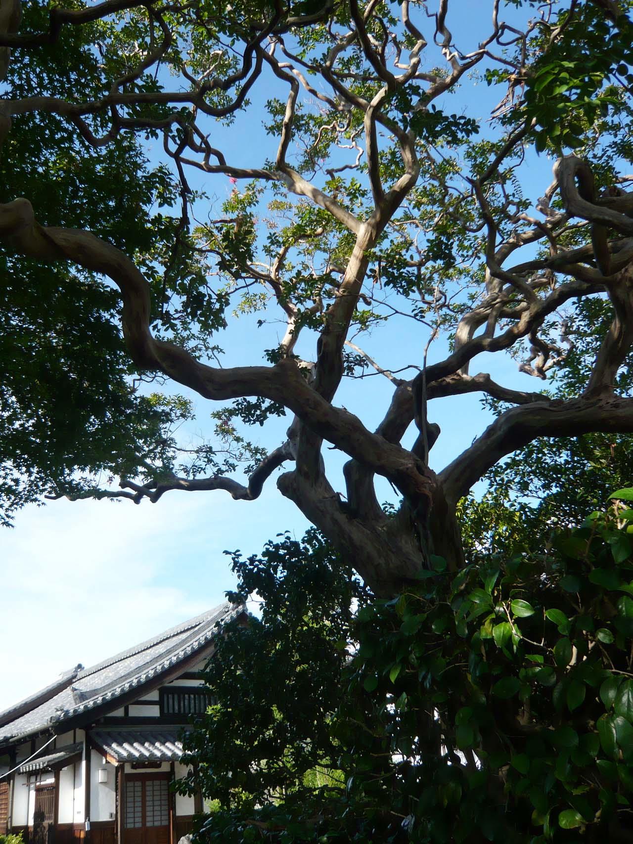 清涼院 百日紅の木