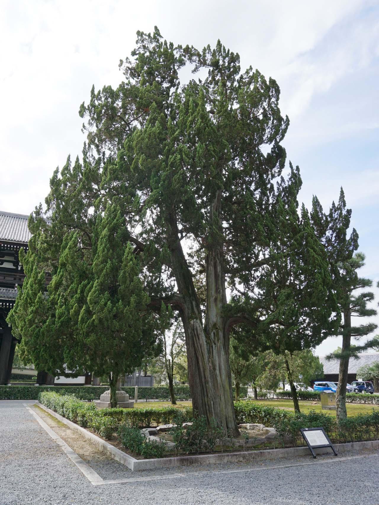 東福寺 唐木 イブキ