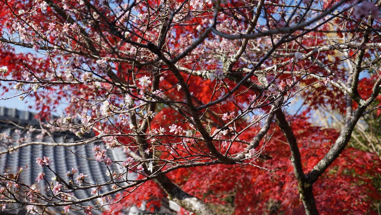 赤山禅院 紅葉と寒桜