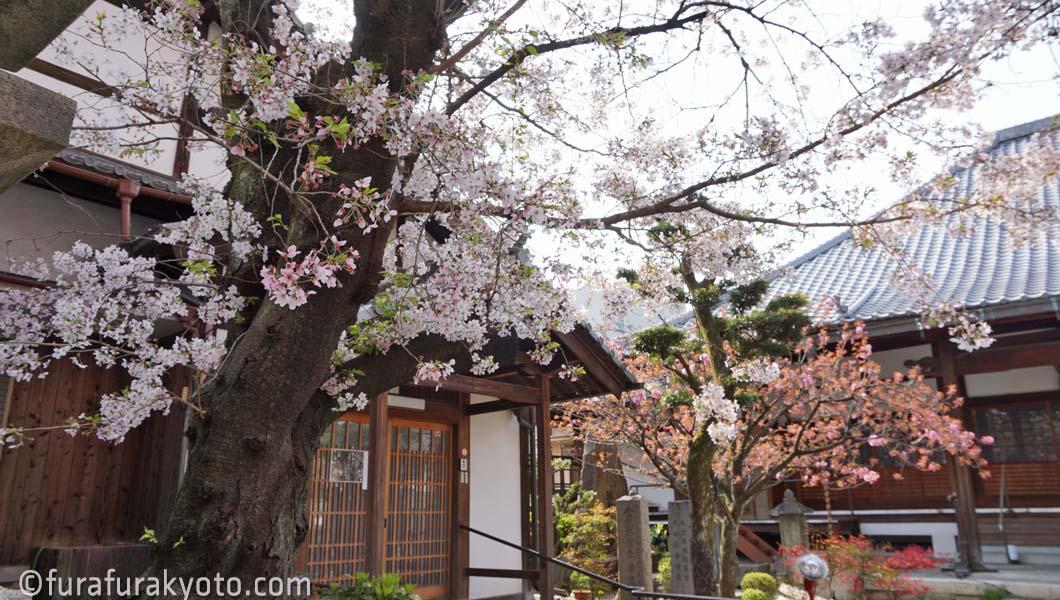 墨染寺 桜