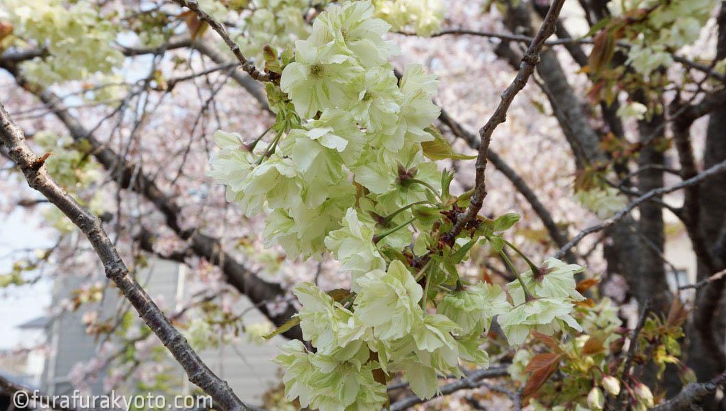 墨染寺 黄桜