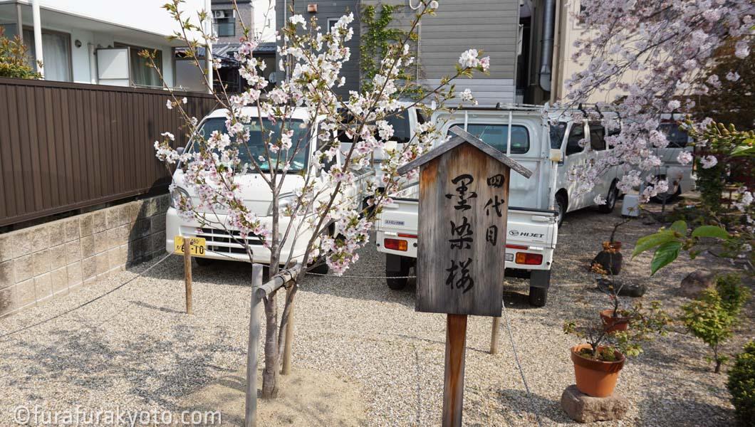 四代目 墨染桜